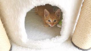 茶トラの子猫の写真・画像素材[2234909]
