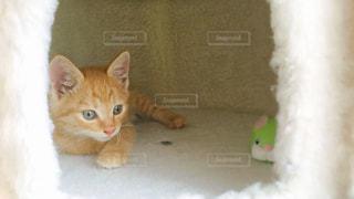 茶トラの子猫の写真・画像素材[2234921]
