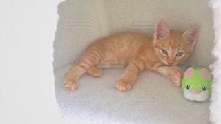 茶トラの子猫の写真・画像素材[2234922]