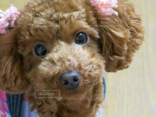犬の写真・画像素材[1042118]