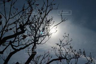 逆光の梅の木の写真・画像素材[1042115]