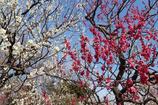 紅白の梅の写真・画像素材[1042116]
