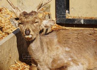 旭山動物園のシカの写真・画像素材[2168169]