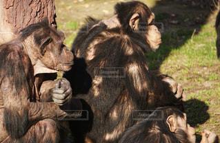 旭山動物園のサルの写真・画像素材[2168170]