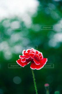 一輪の花の写真・画像素材[1055073]
