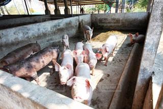 豚の群れの写真・画像素材[1043448]