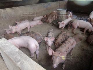 豚の写真・画像素材[1043452]
