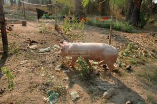 畑に迷い込む豚の写真・画像素材[1043455]