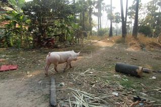 アジアの農村 豚の散歩の写真・画像素材[1043457]