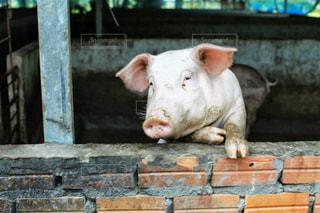豚の写真・画像素材[1043458]