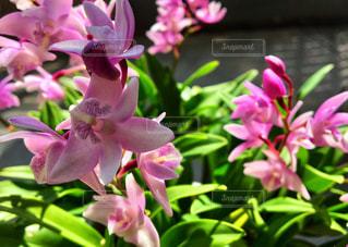 ピンクの花のアップの写真・画像素材[1058603]
