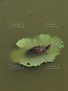 亀と蓮の写真・画像素材[1043408]