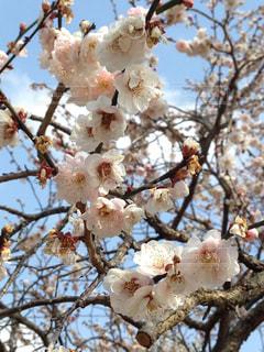 梅の写真・画像素材[1043414]