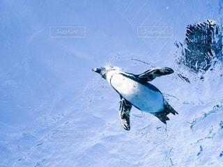空飛ぶペンギンの写真・画像素材[1055195]