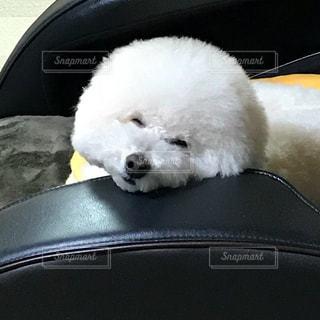 ソファーに座って寝そうな犬 - No.1043730
