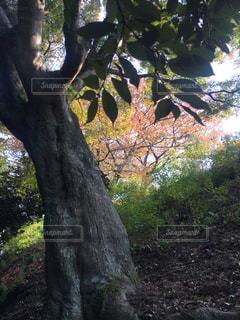 森の大きな木の写真・画像素材[1046747]