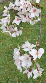 桜の写真・画像素材[1046788]