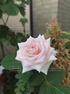 ベランダに咲いたミニバラの写真・画像素材[1043813]