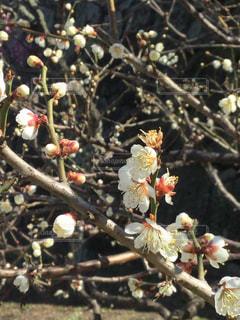 咲き誇った梅の花の写真・画像素材[1043849]