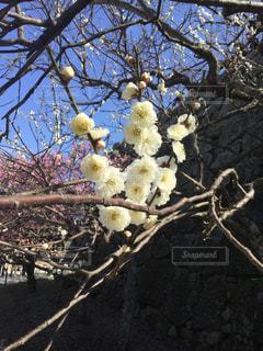 梅の枝に白梅 舞鶴公園の写真・画像素材[1043852]
