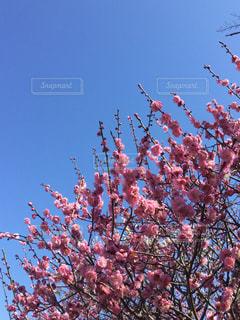 青空背景にピンクの梅の花の写真・画像素材[1043853]
