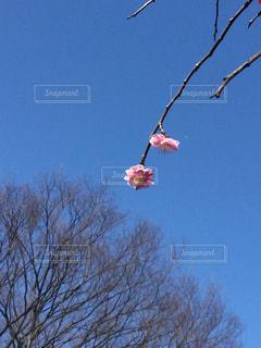 青空を背景に梅一輪の写真・画像素材[1043855]
