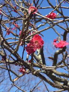 鮮やかな紅梅が咲いています - No.1043856