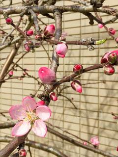 ピンクの花のグループの写真・画像素材[2080950]