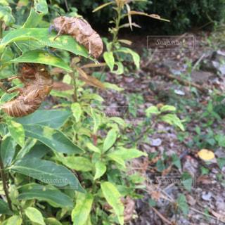 森の中の蝉の抜け殻の写真・画像素材[2321789]