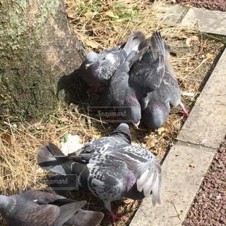 鳩が地面に群れているの写真・画像素材[2321802]