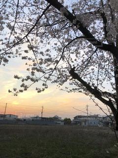 夕暮れの桜の写真・画像素材[1087348]