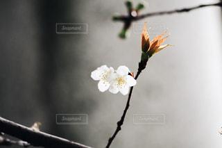 梅の写真・画像素材[1270480]