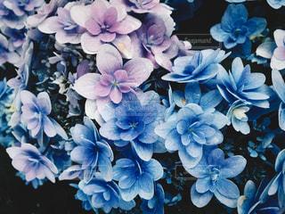 紫陽花の写真・画像素材[1272817]