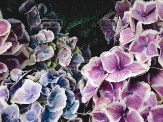 紫陽花の写真・画像素材[1272818]