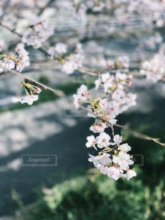 桜の写真・画像素材[1880789]