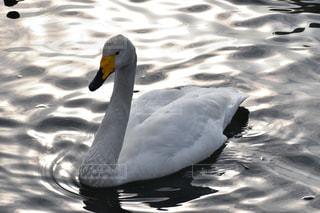 水辺を泳ぐ白鳥の写真・画像素材[1044134]