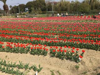 チューリップ畑 - No.1103659