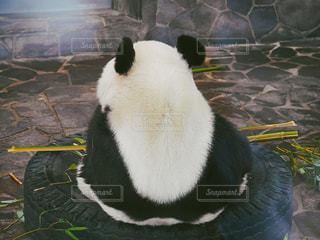 パンダの写真・画像素材[1044597]
