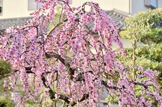 桃の花の写真・画像素材[1044689]
