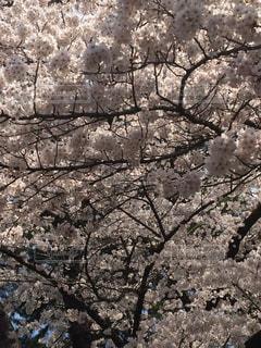 桜祭りの写真・画像素材[1044956]
