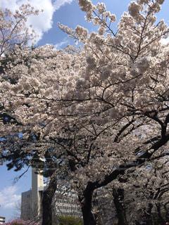 桜🌸の写真・画像素材[1044970]