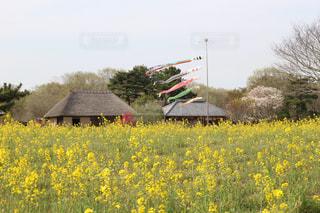 フィールド内の黄色の花の写真・画像素材[1053034]