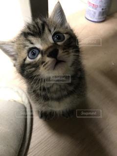 カメラを見ている猫の写真・画像素材[1044911]