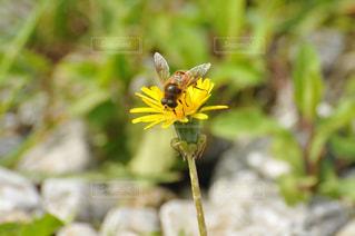 タンポポの花にとまるハチの写真・画像素材[1050463]