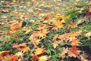 地面に落ちた紅葉の写真・画像素材[1067082]