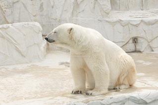 動物園のシロクマの写真・画像素材[1072630]