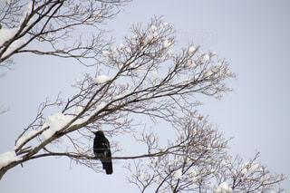 木にとまるカラスと雪の写真・画像素材[1044871]