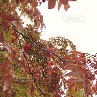赤い実のアップ1の写真・画像素材[1057108]