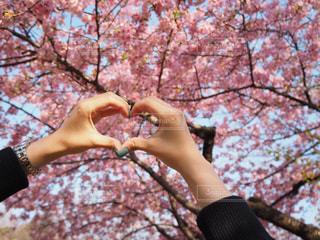 3月の桜の写真・画像素材[1055189]