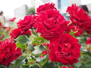 近くの花のアップの写真・画像素材[1212527]
